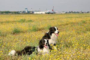 Siguranța Aeroportuară de pe Aeroportul Otopeni caini